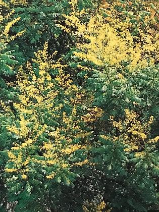 Sophora Japonica - Arbre des pagodes