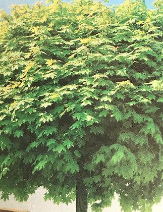 Acer Plat. Globosum - Erable boule