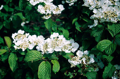 Viburnum Mariesii - Viorne