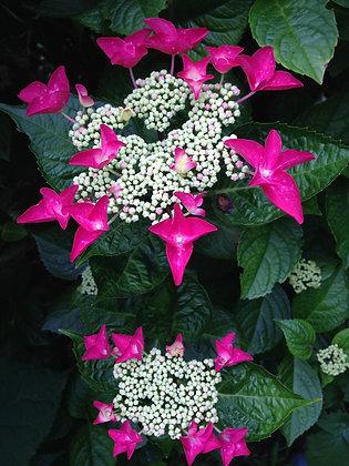 Hydrangea Macrophylla Rotschwanz - Hortensia