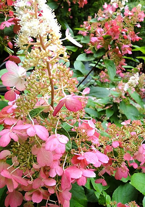 Hydrangea P. Pinky Winky - Hortensia