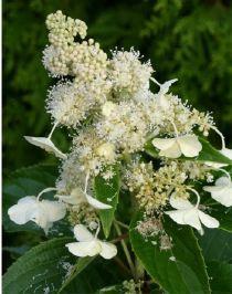 Hydrangea P. Kyushu - Hortensia
