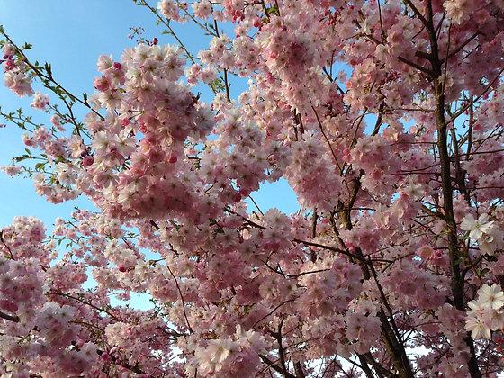 Prunus S. Kanzan