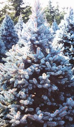 Picea Pungens Koster - Epicea bleu