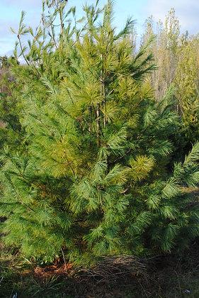 Pinus Griffithii - Pin de l'Hymalaya