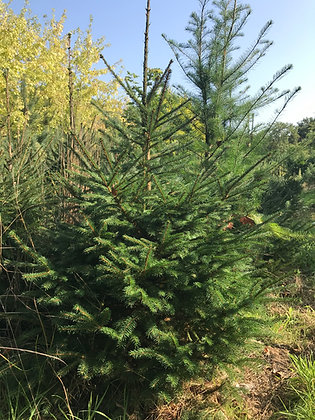 Picea Abies - Epicea commun - Sapin de Noel
