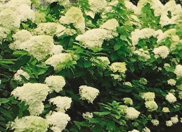 Hydrangea P. Bobo - Hortensia