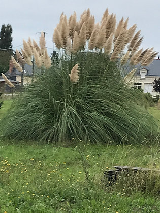Cortaderia - Herbe des Pampas
