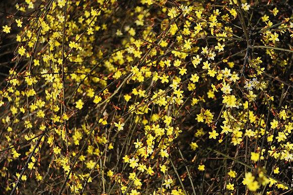 Jasminum Nuidiflorum - Jasmin d'hiver