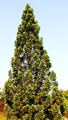Séquoiadendron Gigantea