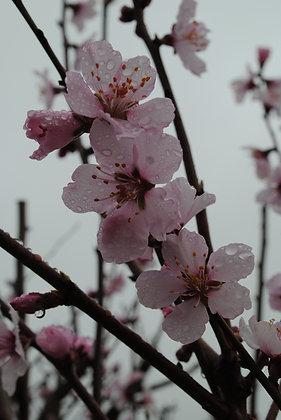 Amandier - Prunus dulcis