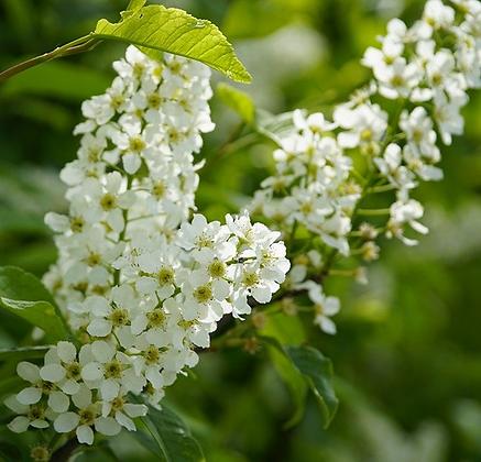 Prunus Padus - Cerisier à grappes