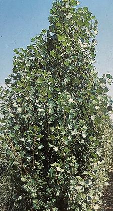Populus Alba Nivea - Peuplier blanc