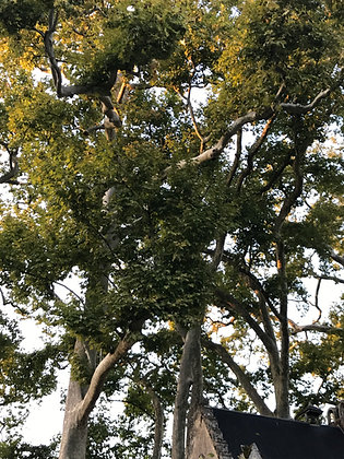 Platanus Acerifolia - Platane à feuilles d'Erable