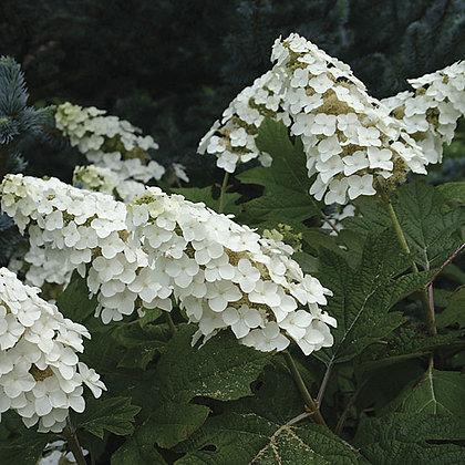 Hydrangea Quercif. Snow Queen - Hortensia