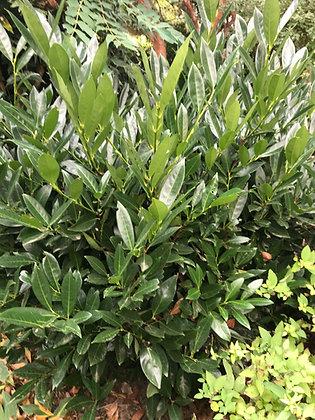 Prunus L. Otto Luyken - Laurier palme