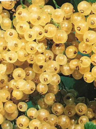 Groseillers - Ribes