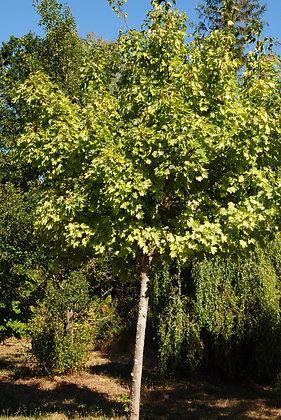Acer Pseudo. Leopoldii - Érable sycomore