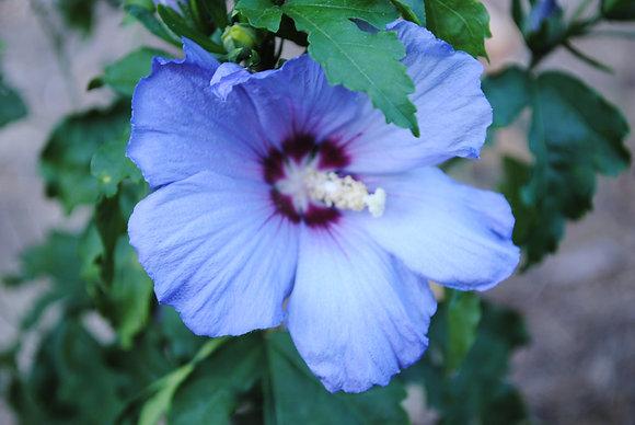 Hibiscus Azurri