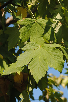 Acer Pseudoplatanus - Erable Sycomre