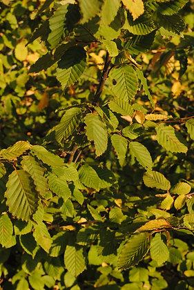Carpinus Betulus - Charme commun