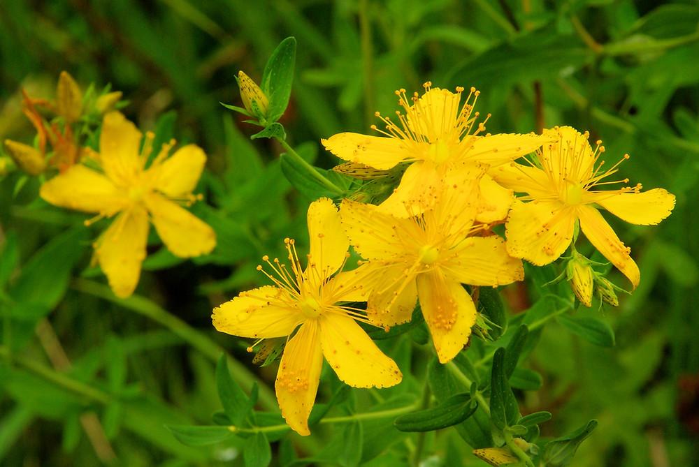 Saint Johns Wort Plant in flower