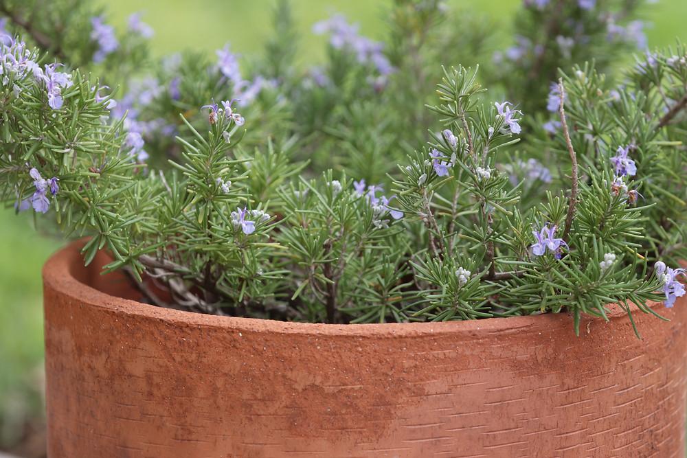 Rosemary plant in flower