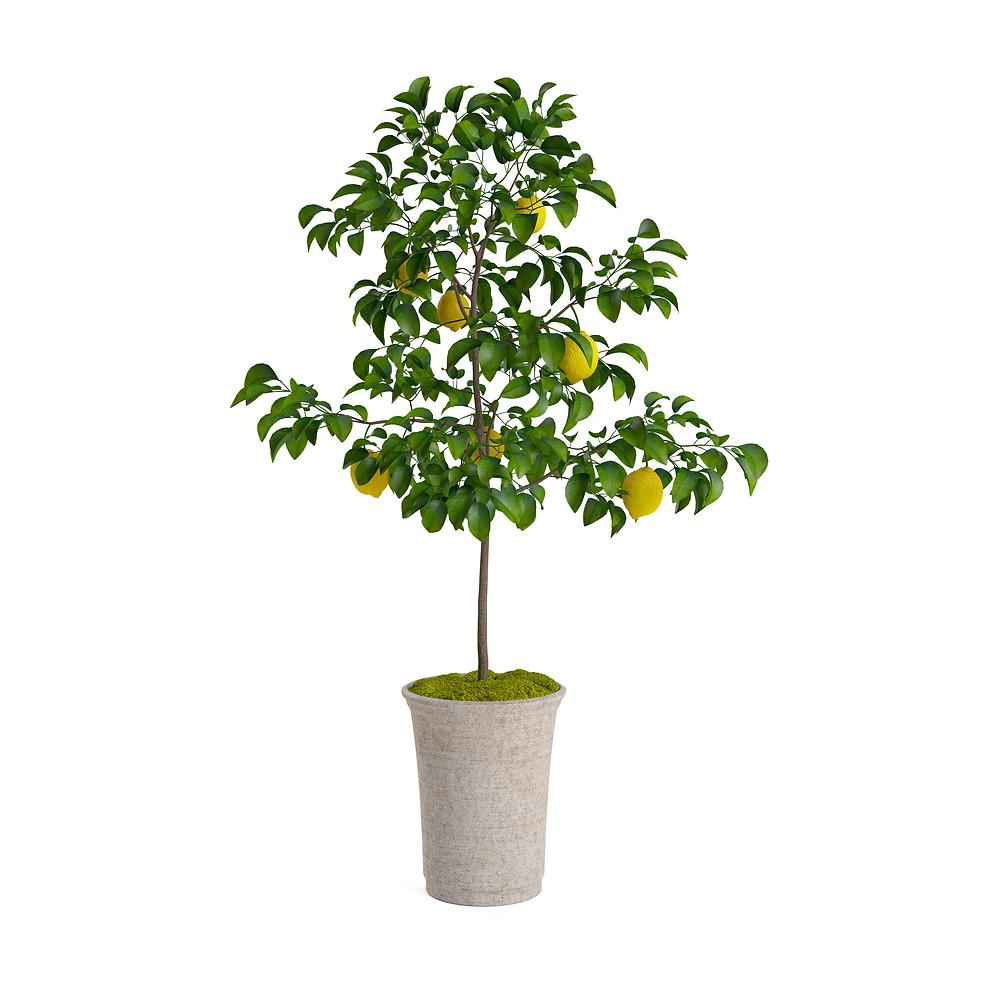 Lemon Tree (Citris Limon)