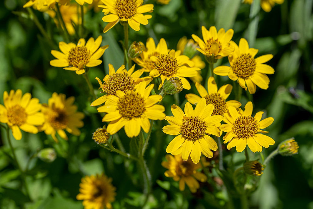 Meadow of Arnica