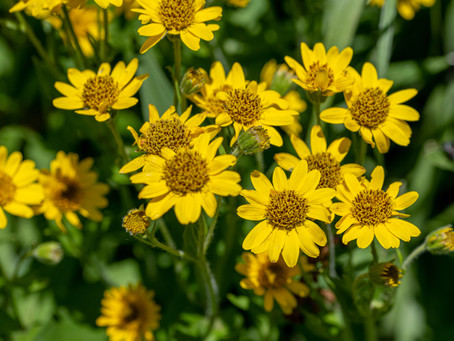 Arnica - Natural Pain Relief