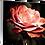 Thumbnail: Coral Rosa