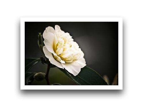 Shine on Me - Camellia