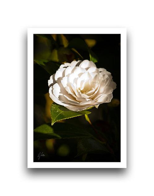 Dazzling and Divine - Camellia