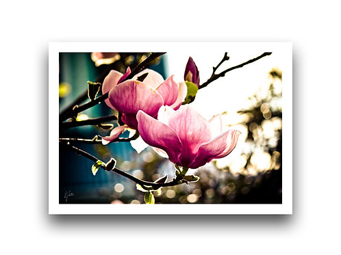Dusky Duet - Magnolias