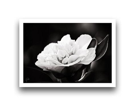 My Delicate Petals II