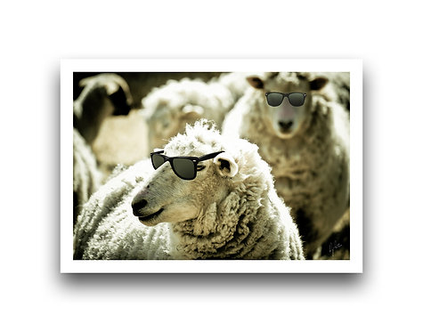 Sheep with Sunnies