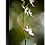 Thumbnail: The Spider - Chlorophytum Comosum