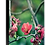 Thumbnail: Japonica Series V