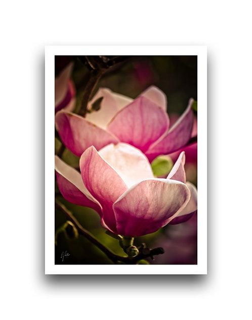 Saucer Magnolia - Portrait