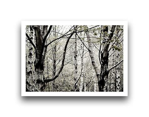 Woodland Scene - Silver Birch I