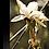 Thumbnail: Star Magnolia