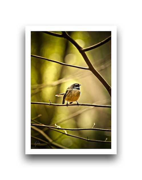 Fantail In The Woods II