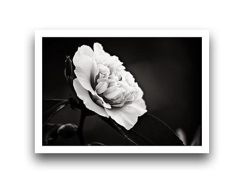 Shine on Me - Camellia II