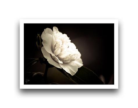 Shine on Me - Camellia IV