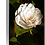 Thumbnail: Dazzling and Divine - Camellia