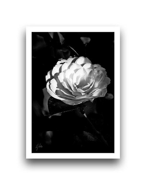Dazzling and Divine - Camellia II
