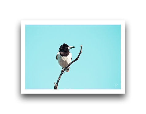 Butcher Bird II