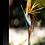 Thumbnail: Bird of Paradise