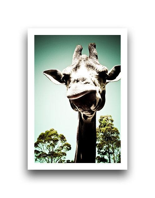 Contently Cantankerous - Giraffe