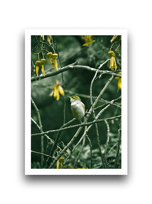 Waxeye in the Kowhai